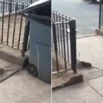 Momento nauseabundo em que um rato de Nova York tenta COMER um pombo vivo antes que o pássaro seja salvo por um bom samaritano com um cachimbo