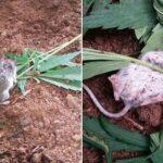 Um rato curioso foi encontrado a mastigar folhas de cannabis antes de ser encontrado desmaiado de costas